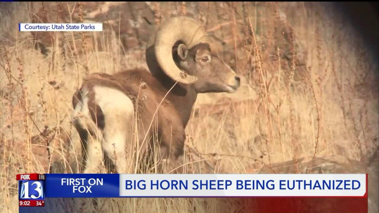 Wildlife officials to eradicate bighorn sheep population on Antelope Island due todisease