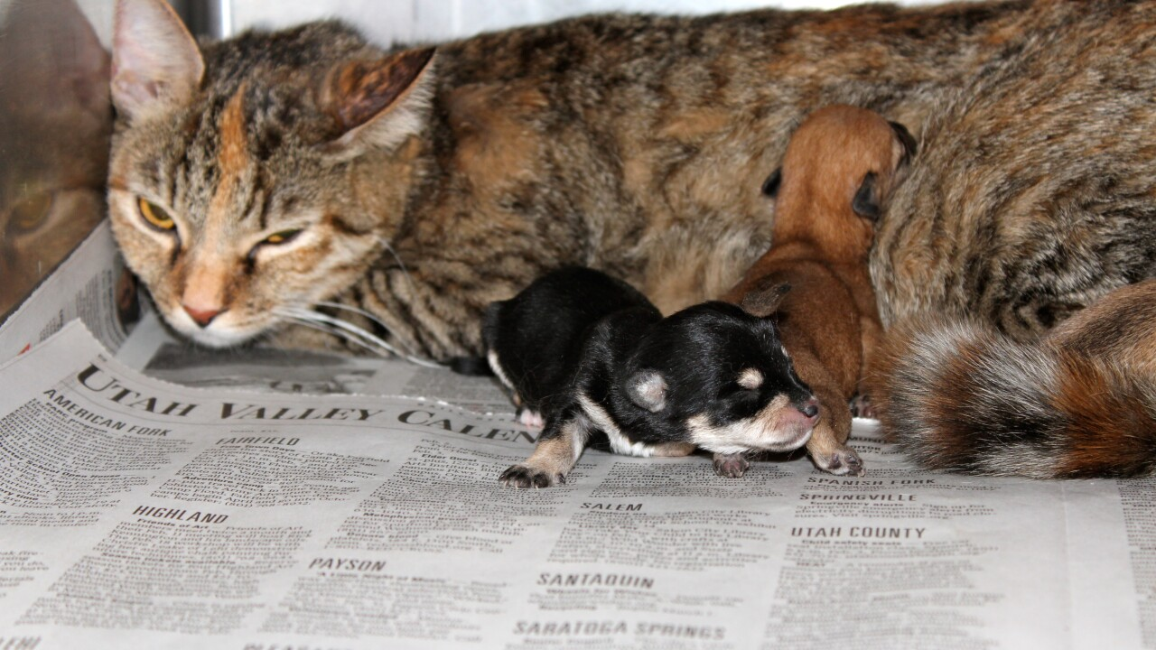 4 newborn pups nursed by mama cat now being bottle-fed