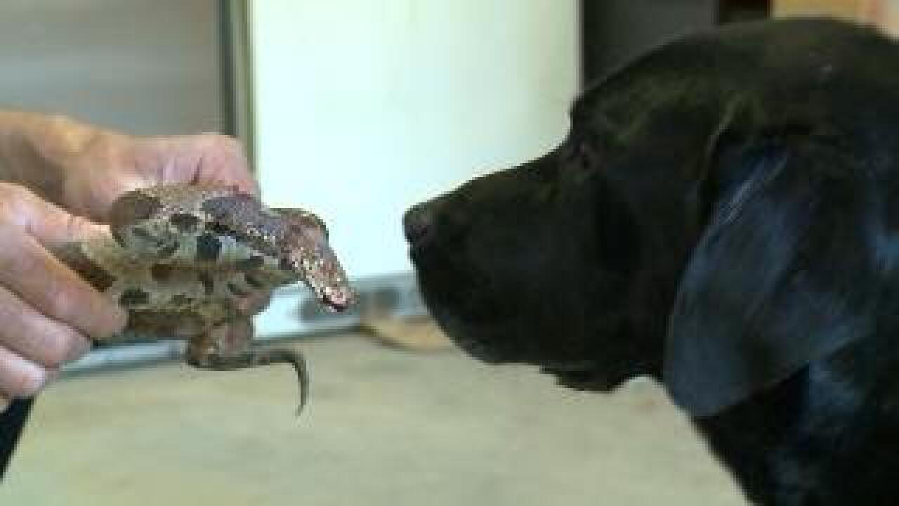Near record-length copperhead thwarted by black lab, dad with a hoe