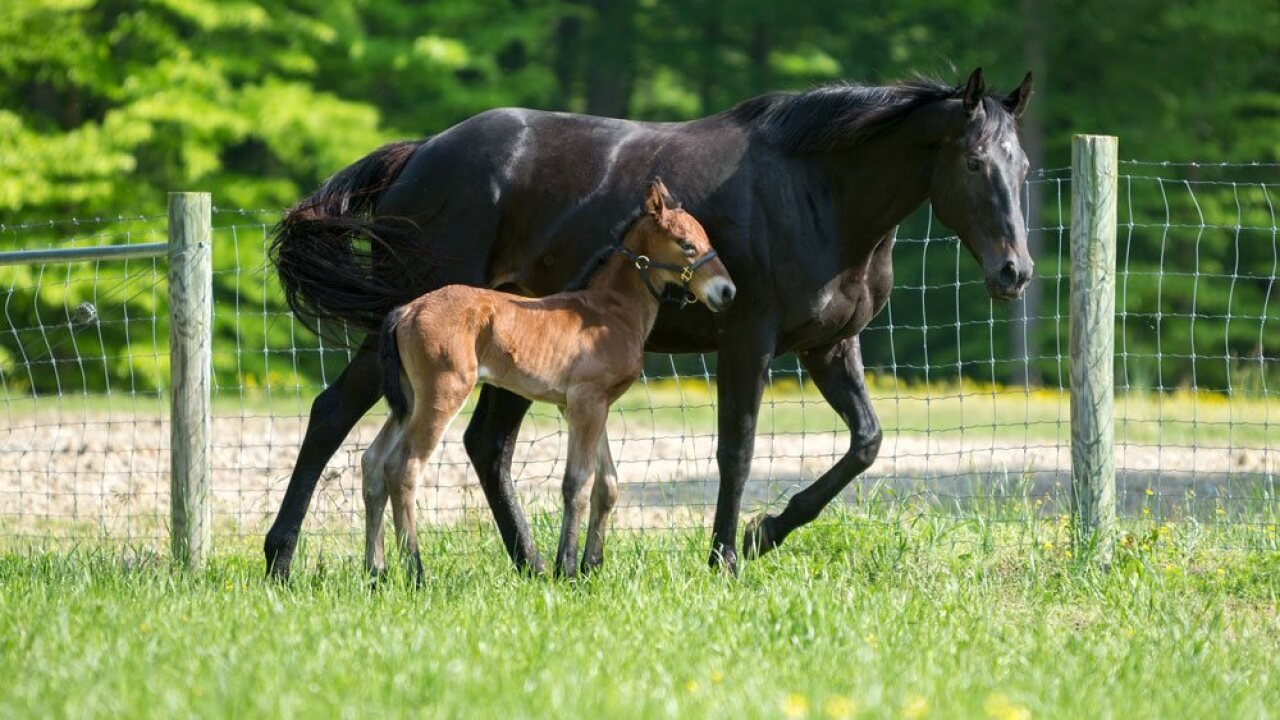 Colonial Williamsburg department welcomes first foal born in 16 years