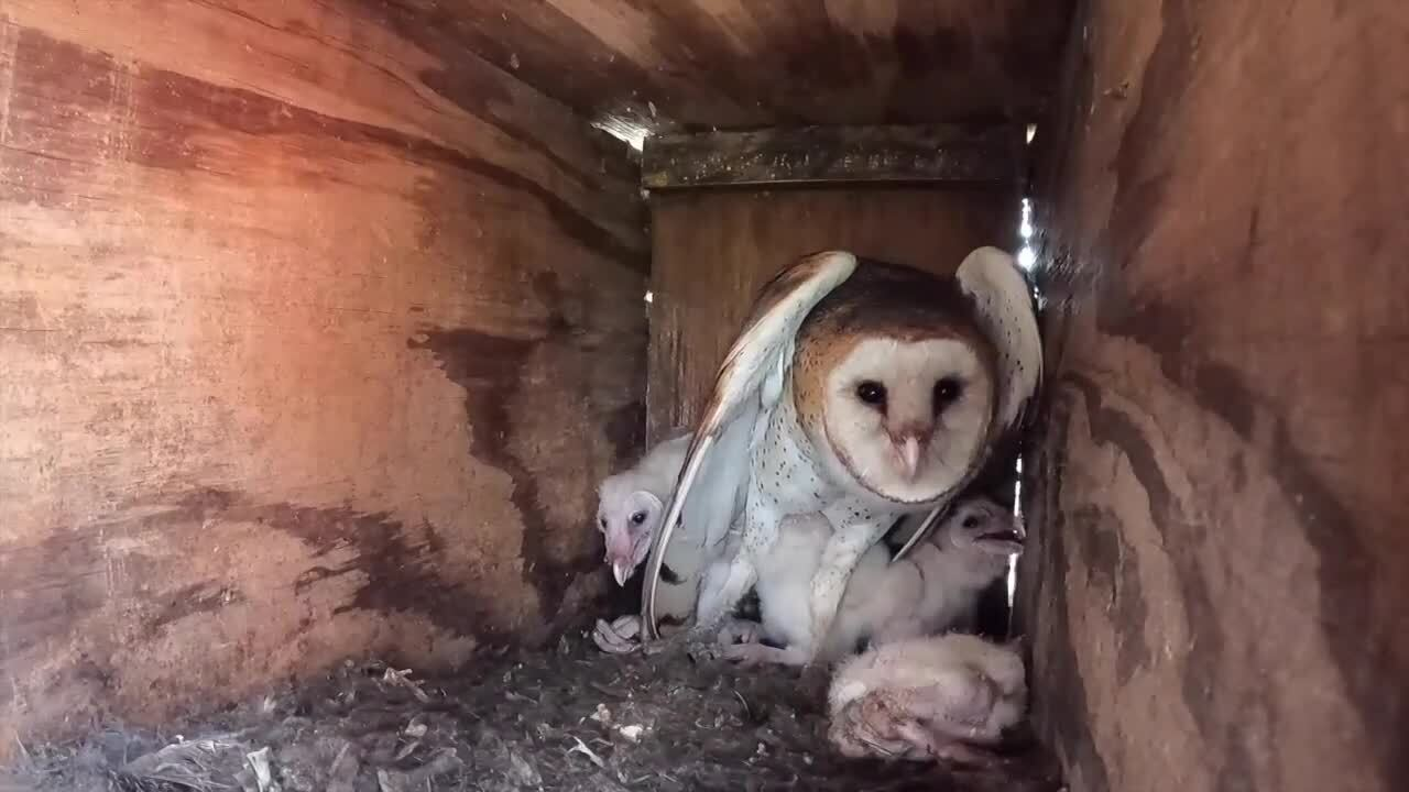 barn owl mother with her young children