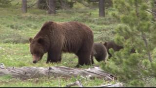 Lawsuit planned over Greater Yellowstone Ecosystem grizzly bear removal plan