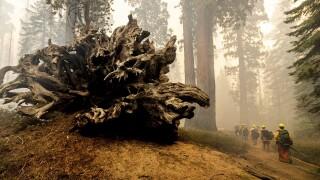 California Wildfires Giant Sequoias