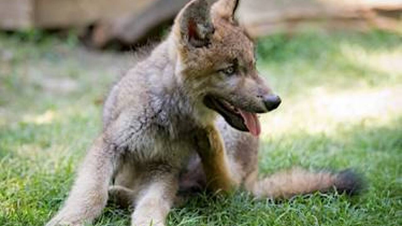 Busch Gardens is new home for wolf pup
