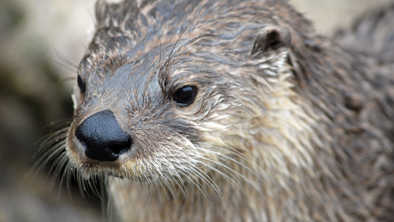 North_American_River_Otter_-_CNP_3361_(7056954311).jpg