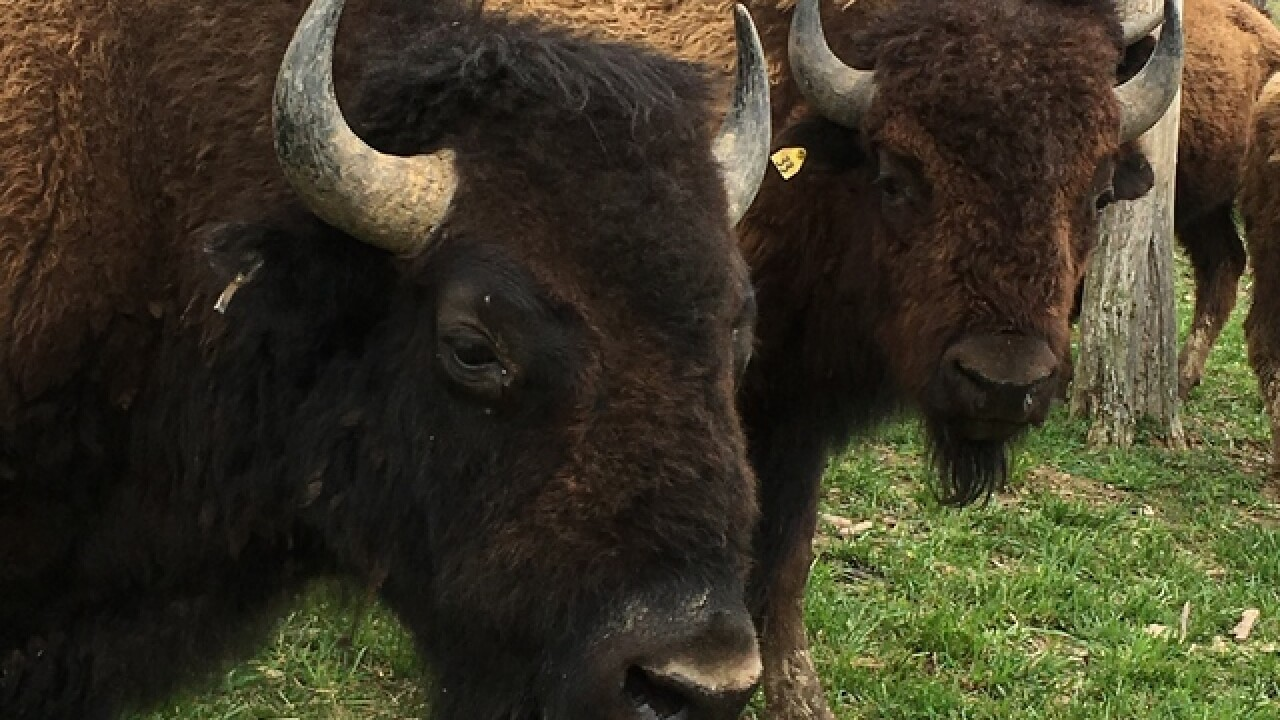 Finneytown couple is raising bison, seriously