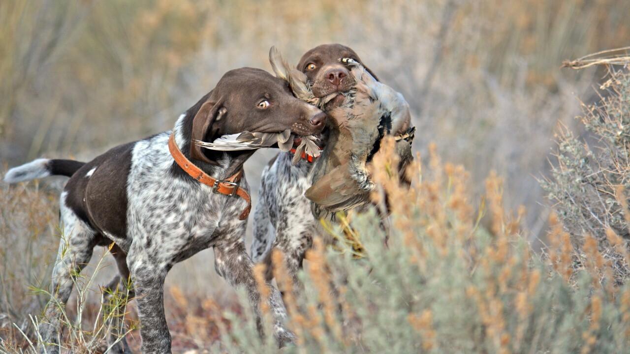 Winter chukar hunting
