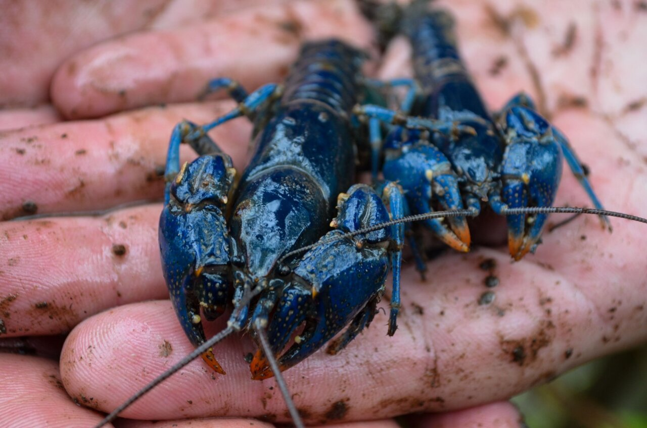 Researchers discover rare blue crayfish in eastern Ohio on May 19.