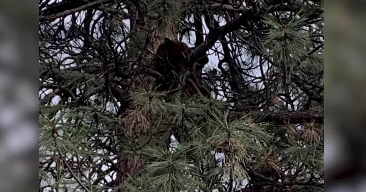 Bears seen making the rounds in Missoula