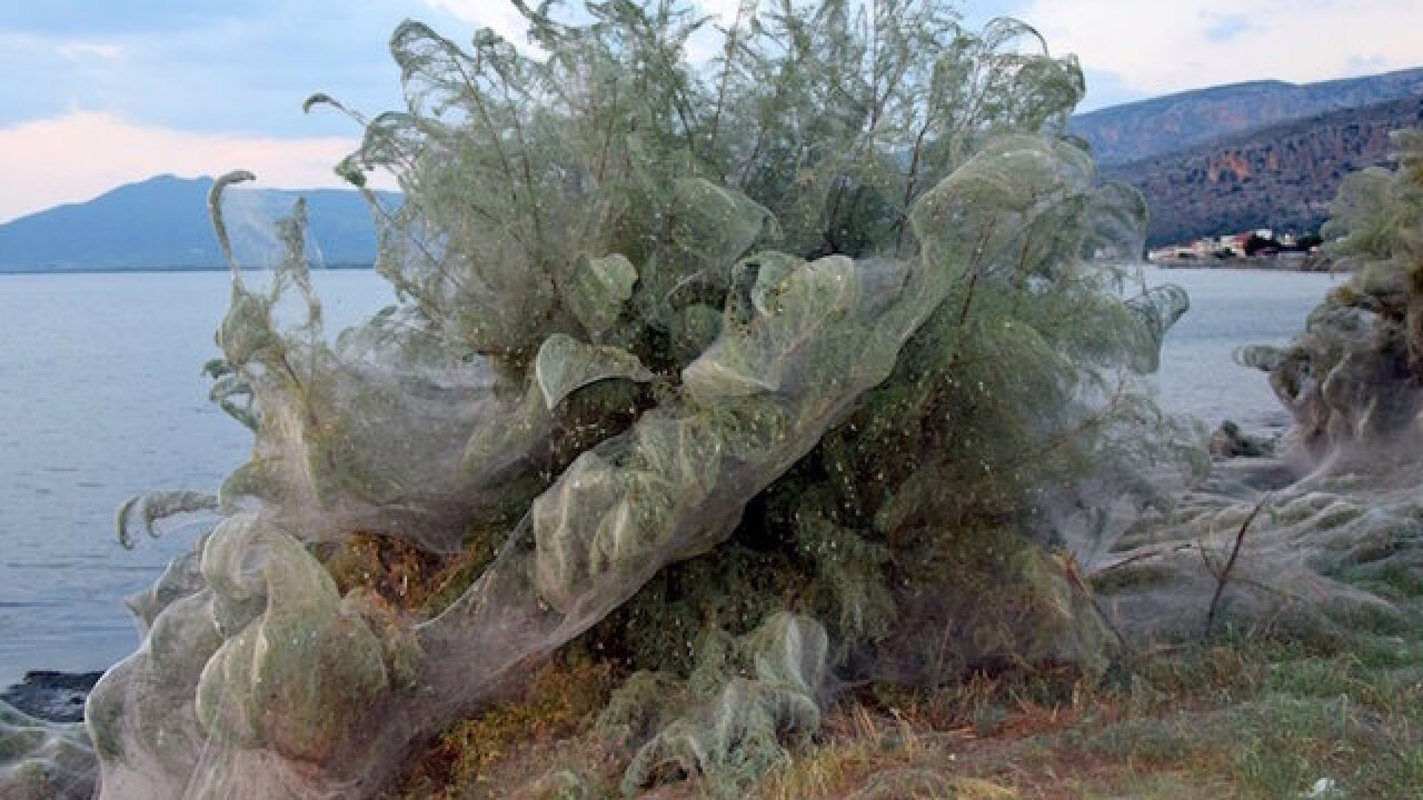 Greek town full of spiders left covered in webs