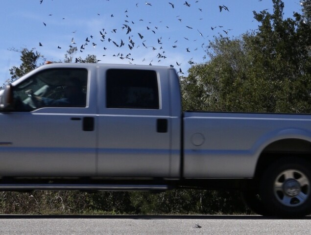 Large groups of small birds flying into cars in Cape Coral