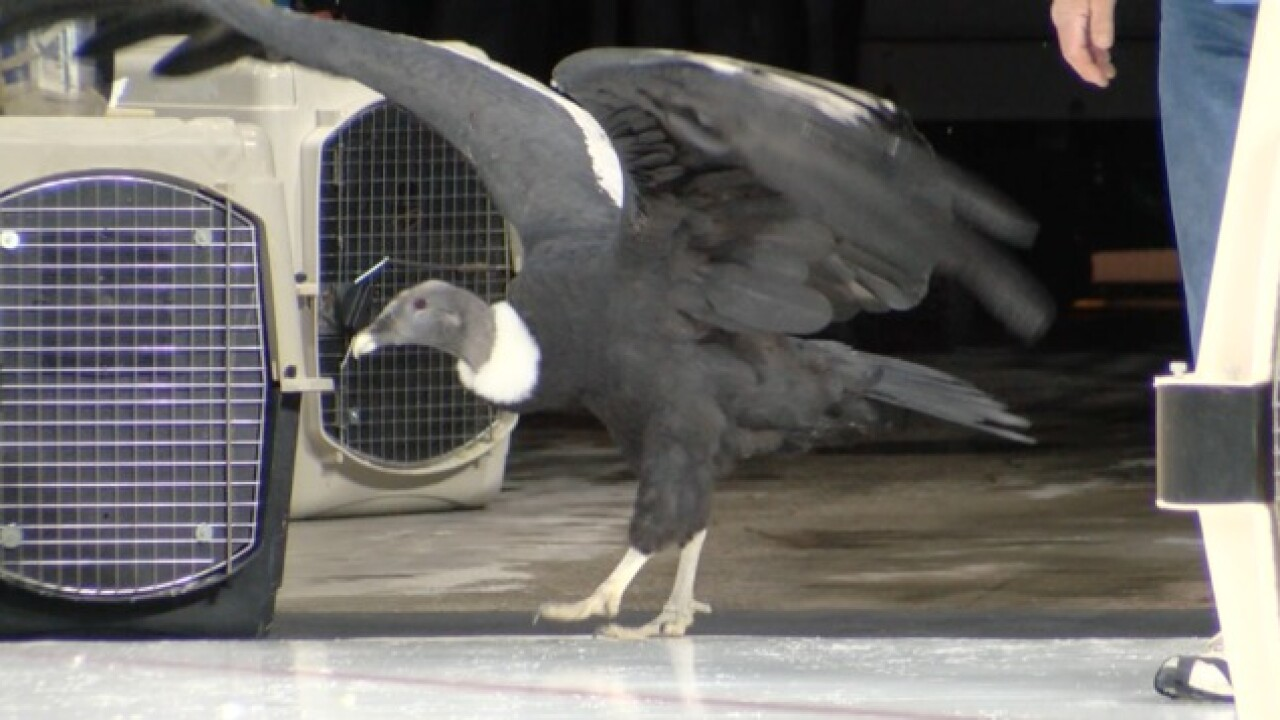 Famous condor comes back to Condorstown