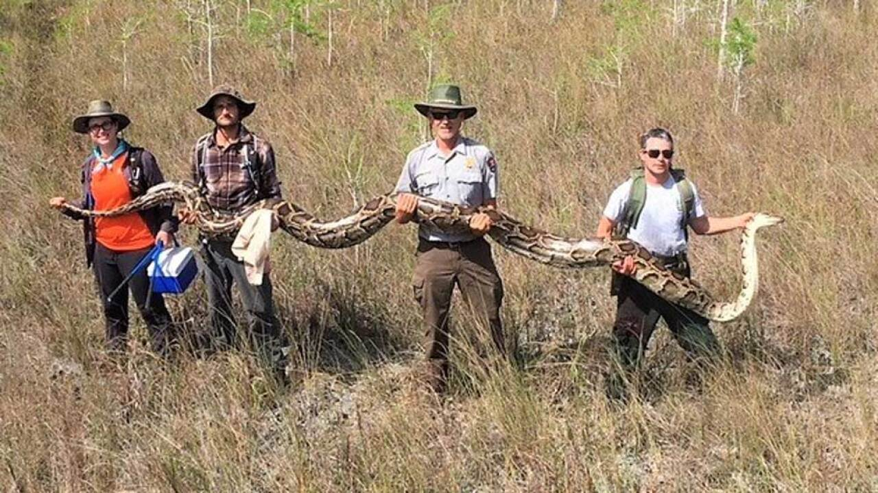 This female python, more than 17 feet long, weighed 140 pounds and contained 73 developing eggs in April 2019.