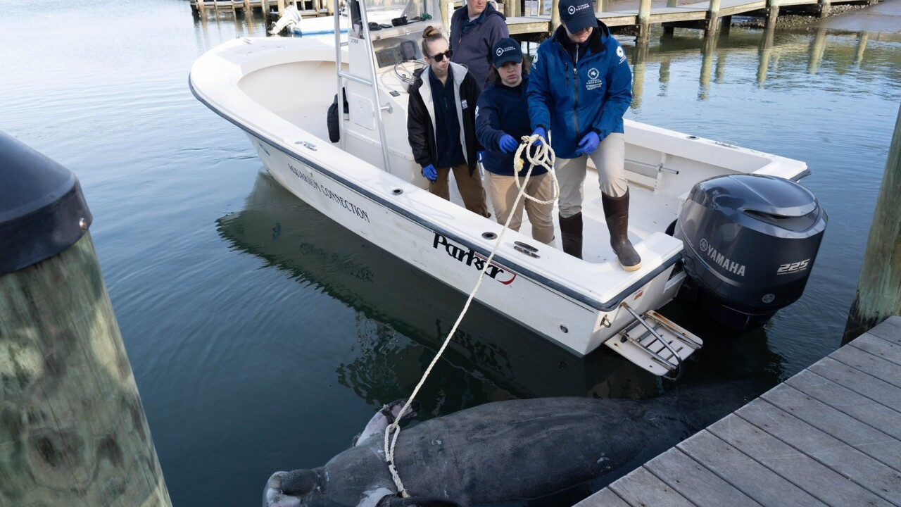 Manatee found dead in Virginia Beach; experts say it was possiblycold-stressed
