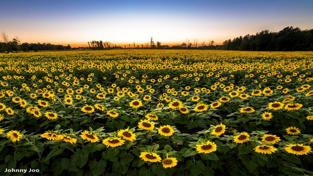 Sea of sunflowers in memory of girl with cancer