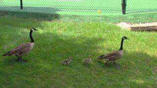 geese in Carmel.JPG