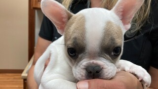 PHOTO: French bulldog puppy