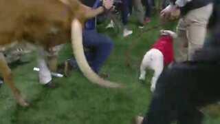 Texas mascot topples barricade, charges Georgia bulldog