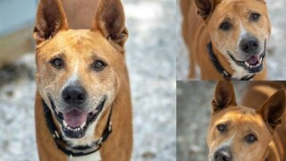 Pet of the week: 6-year-old Roger is an All-American dog ready to hang out on your couch