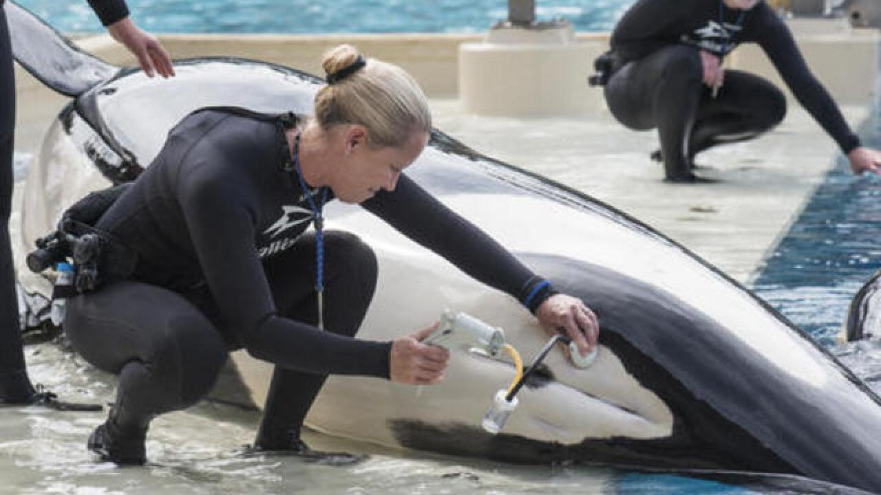 orca shows to take final bow at seaworld san diego