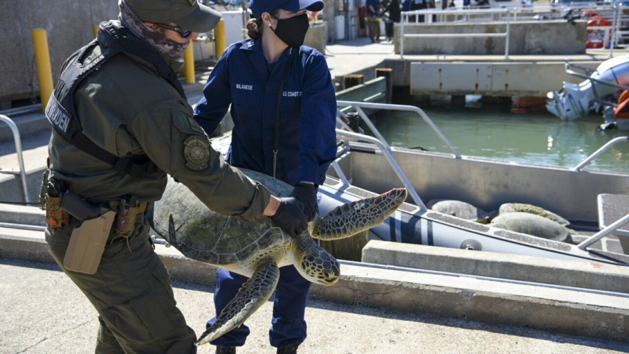 Sea Turtles Rescued from Frigid Waters Near Texas Returned to Gulf of Mexico