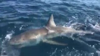 Fishermen on a charter boat snagged a large great white shark off the coast of Broward County on New Year's Day.