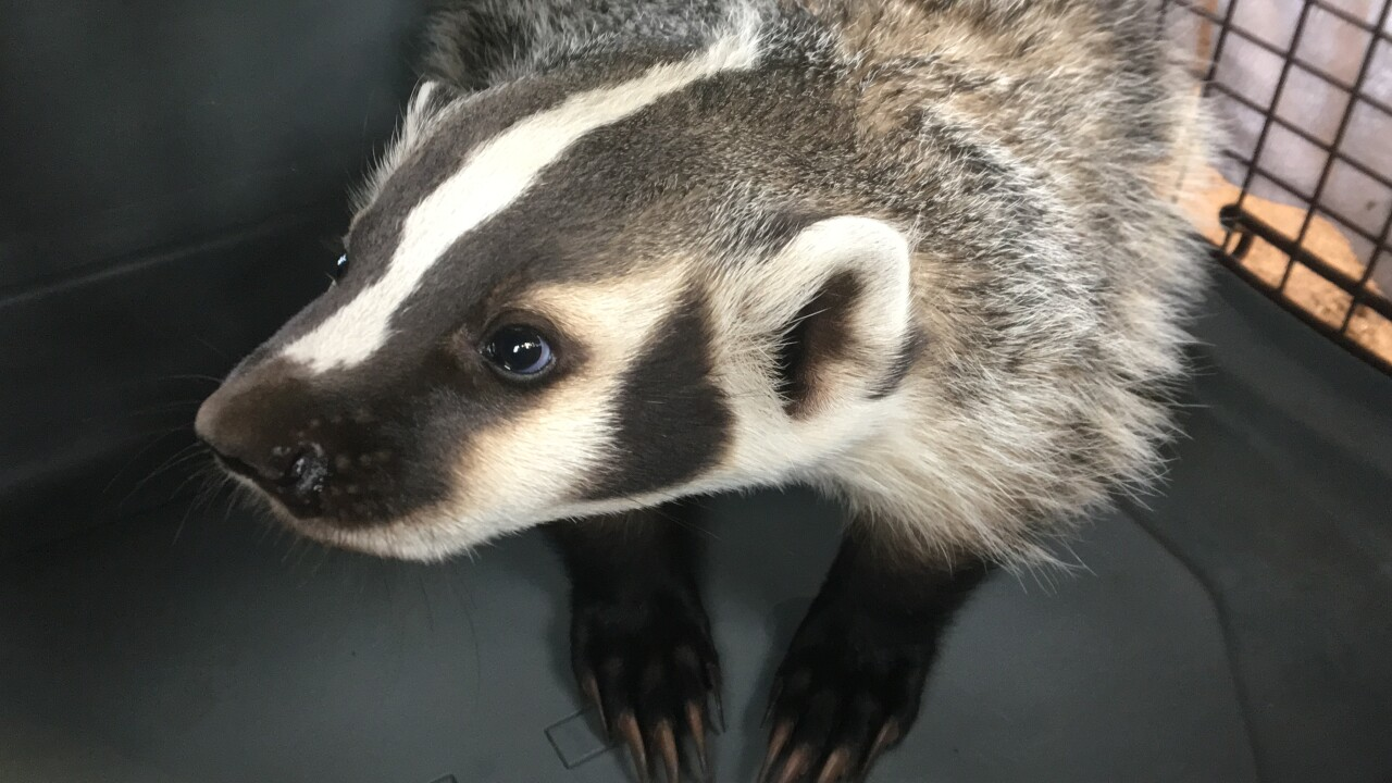 Badger Orphan #19-130 is moved to outside enclosure April 30, 2019