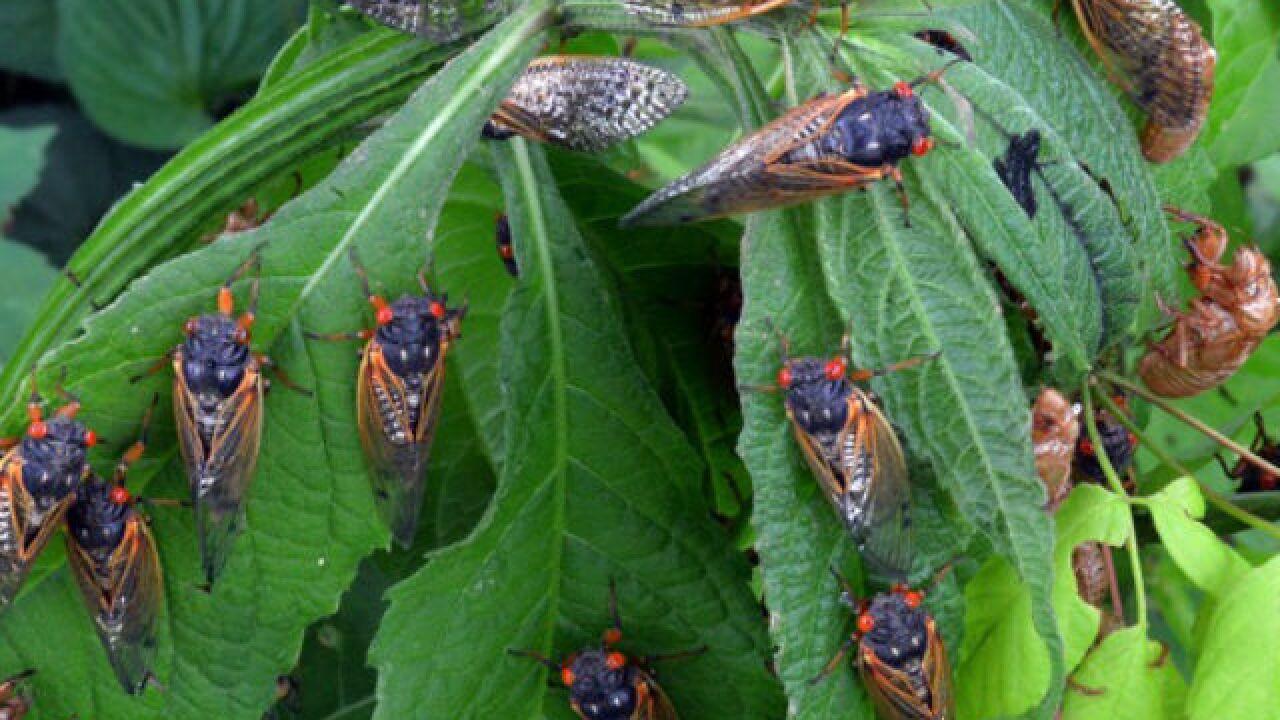 Cicadas: Why we hate 'em, love 'em, eat 'em