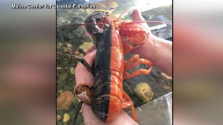 wptv-two-toned-lobster-.jpg