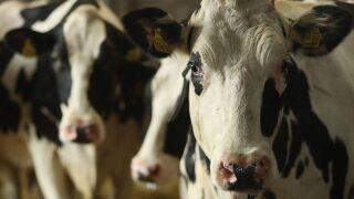Cow breaks Connecticut farm worker's jaw