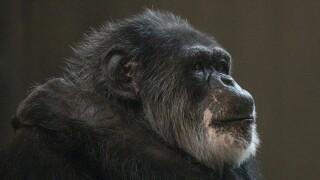 Cobby the Chimpanzee