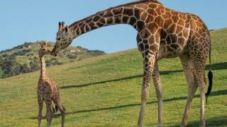 zahara_sd_zoo_safari_park_giraffe.jpg