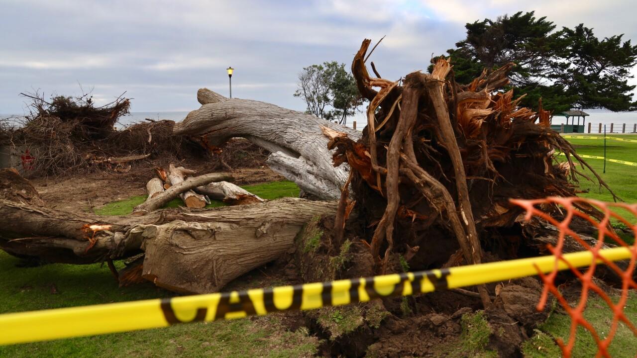 Dr. Seuss tree topples over in La Jolla
