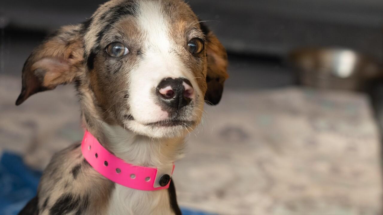 2018.11.29 35 Catahoula dog owner surrender_Dot (A1049028)-5.jpg