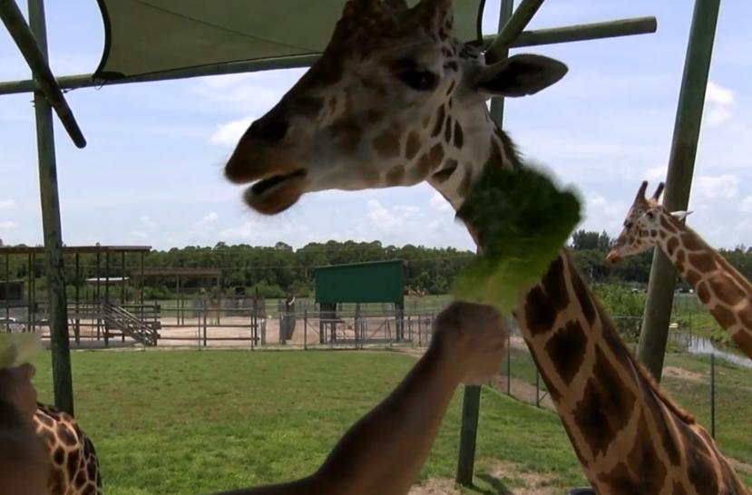 giraffes.PNG