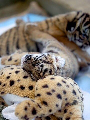 Feeding time for Cincinnati Zoo's Malayan tiger cubs