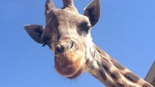 Photos: Oldest giraffe in North America dies at Utah's HogleZoo