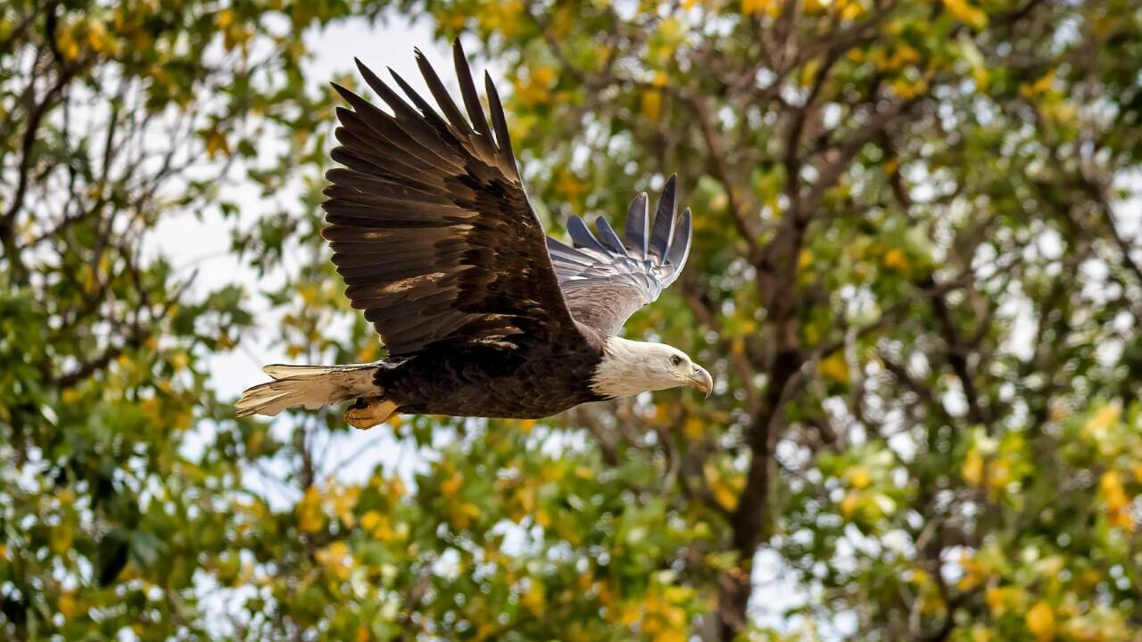 Prospect Lake Bald Eagle Larry Marr.jpg
