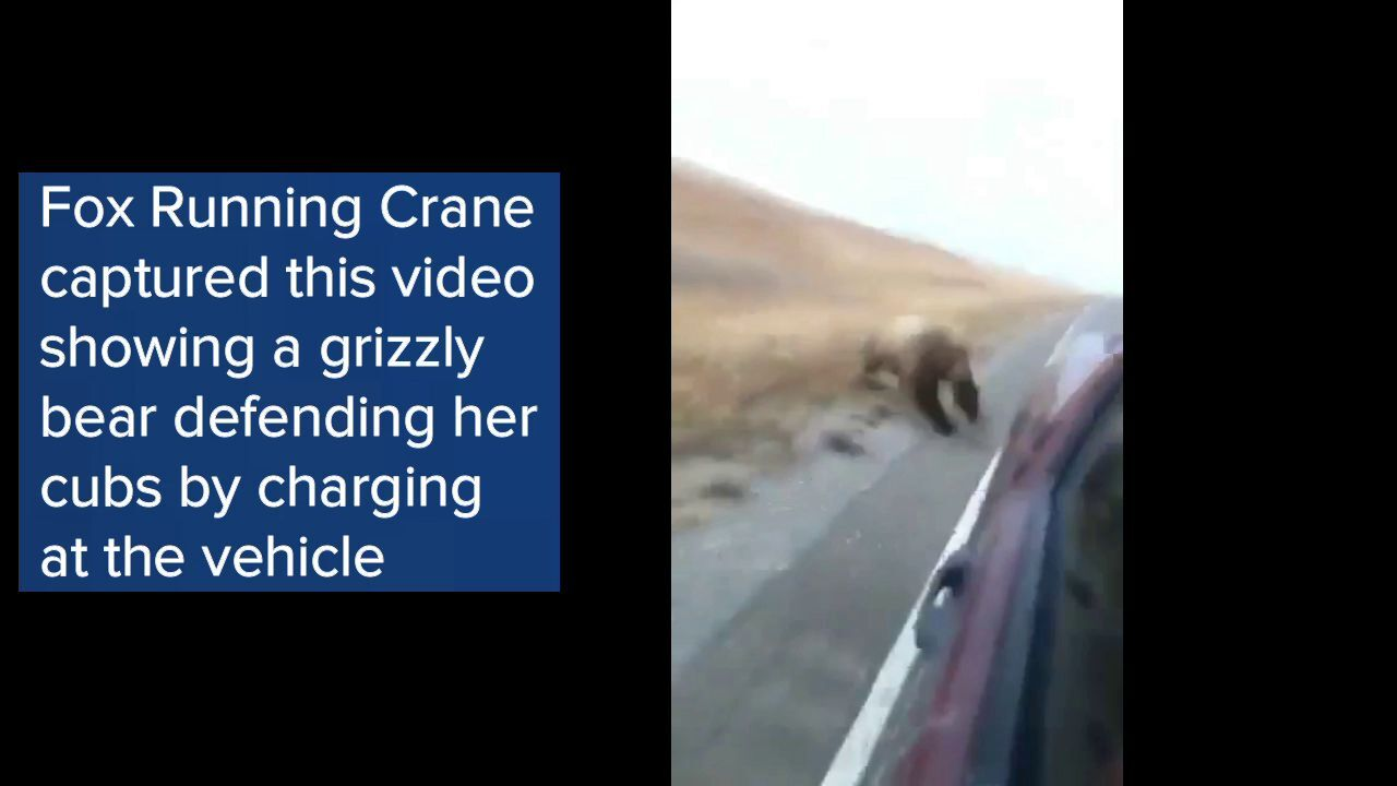 WATCH: grizzly bear charges at vehicle