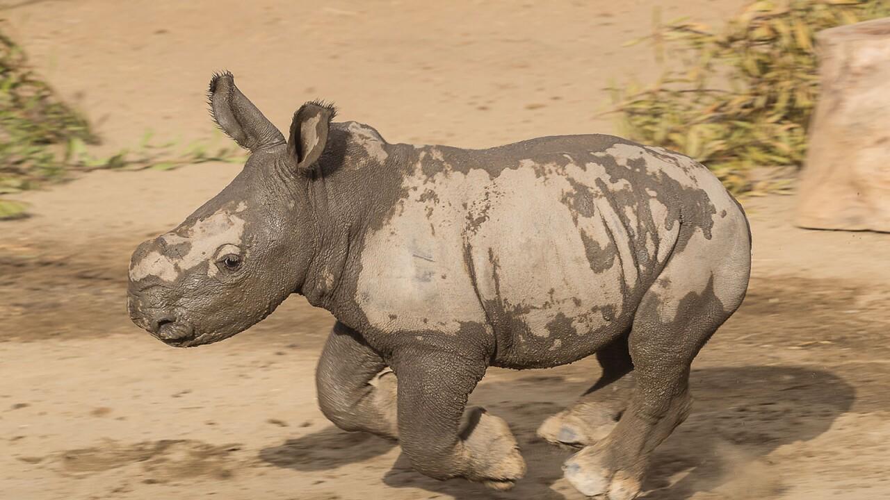 Southern White Rhino Calf Enjoys Mud Wallow with Mom at the San Diego Zoo Safari Park's Nikita Kahn Rhino Rescue Center