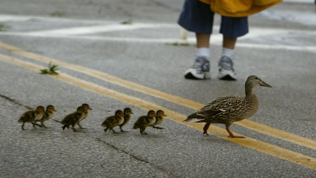 Long Island police rescue 14 ducklings from storm drain