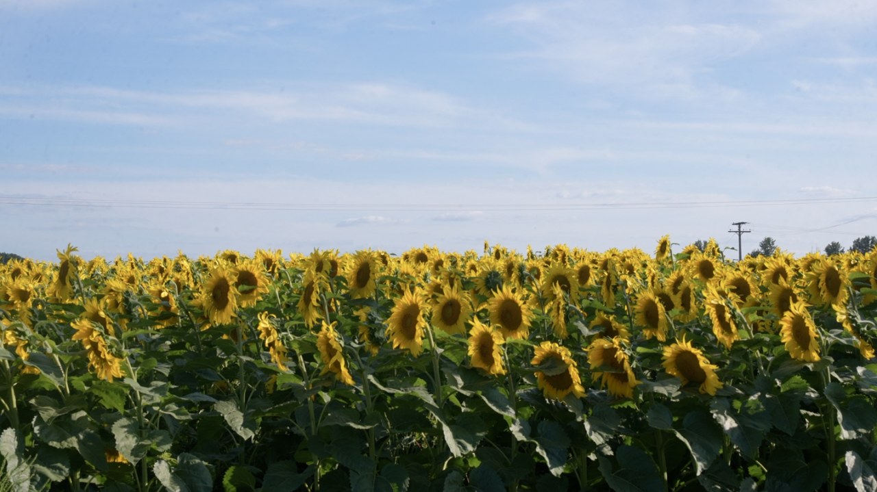 Sunflower fields at Munsell Farms mid-August
