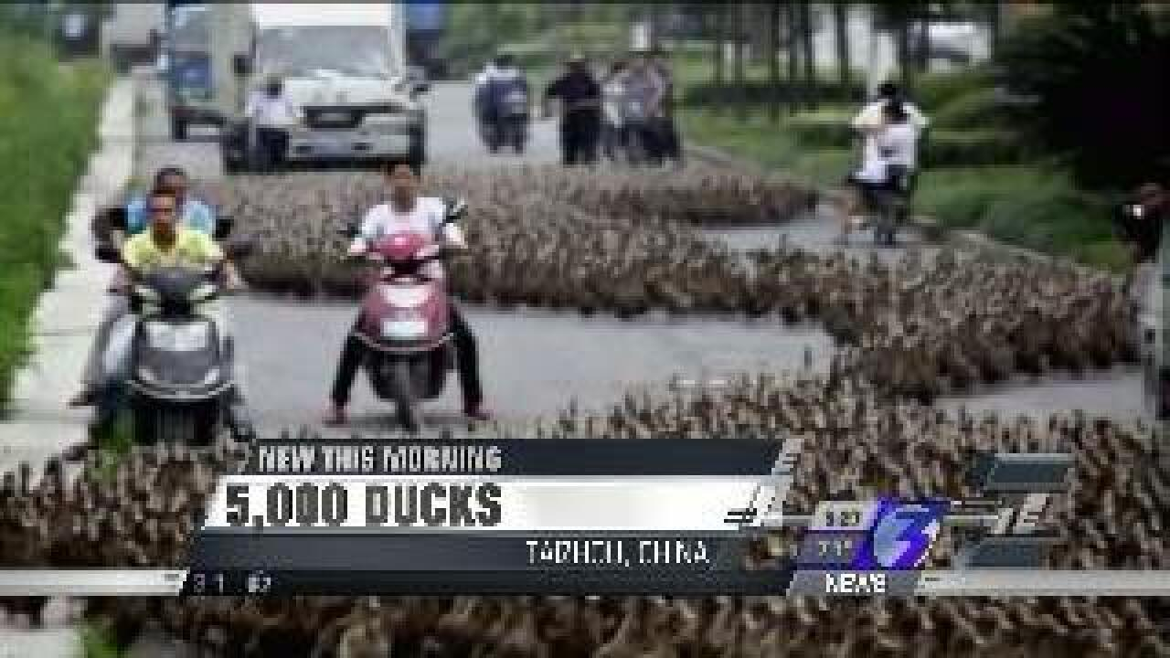 Chinese farmer uses cane to herd more than 5,000 ducks through street