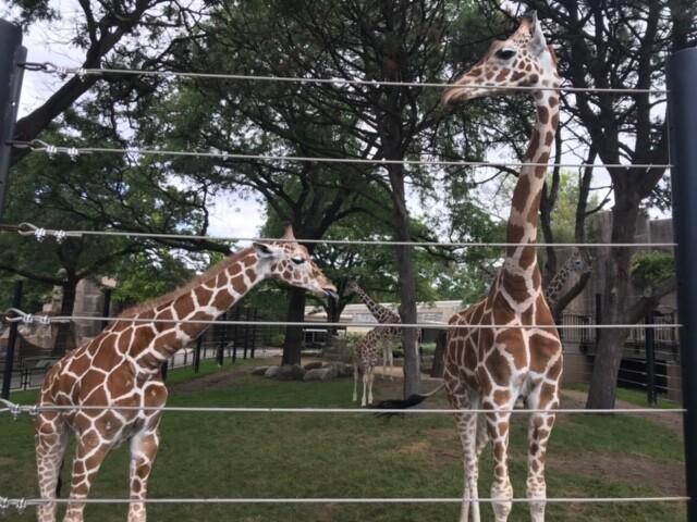 Giraffes at Milwaukee County zoo
