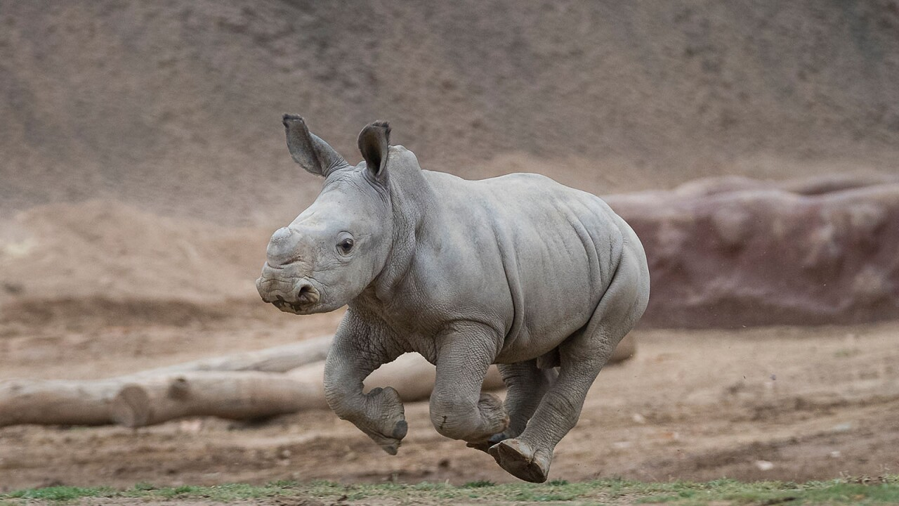 "Three-Week-Old Southern White Rhino Calf ""Gets Air"" at the 
