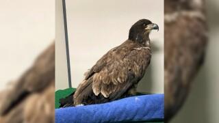 bald eagle mrcc.jpg