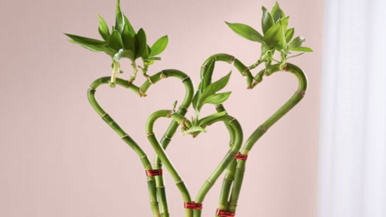 Give Your Valentine A Heart-shaped Bamboo Plant Instead Of Roses This Year