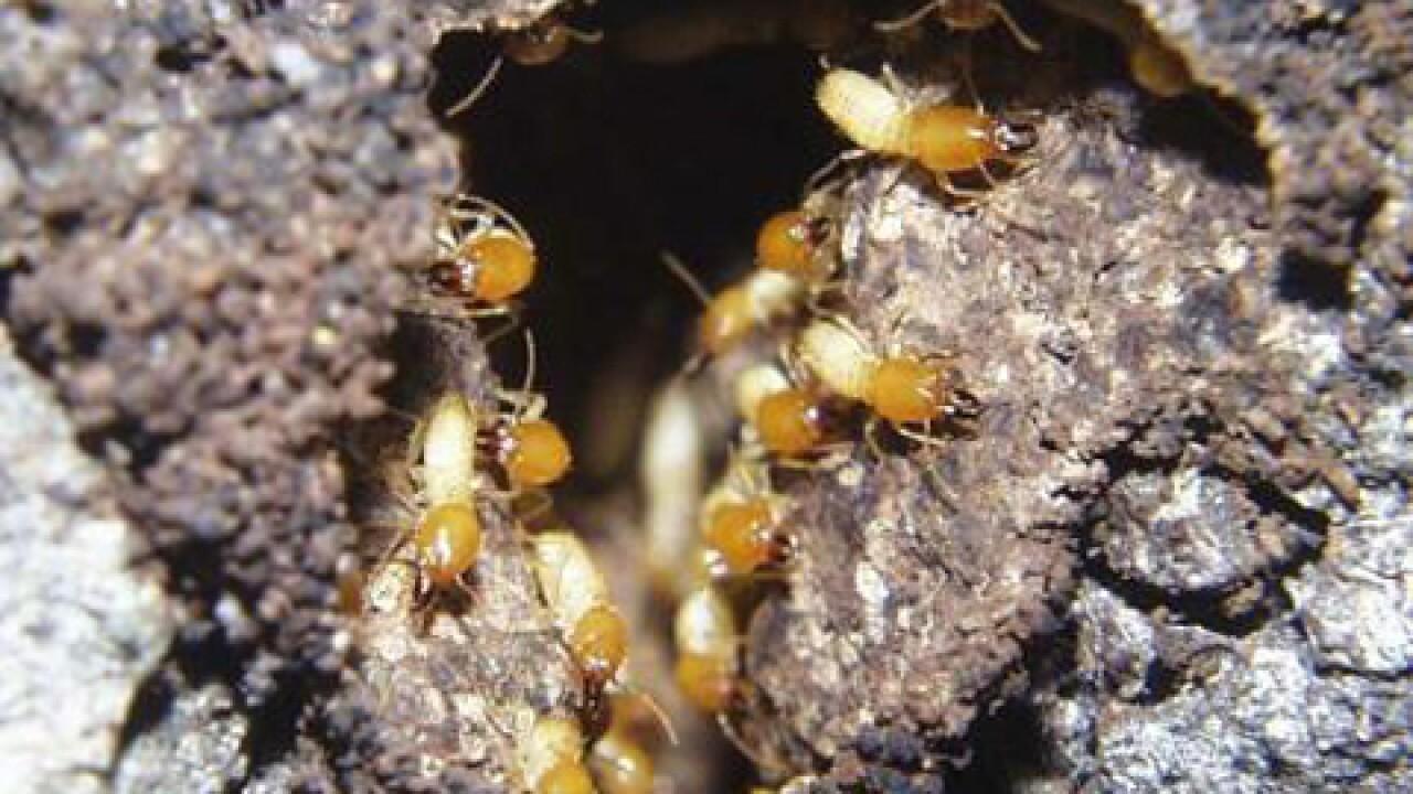 Termites Info Lightning Termite