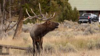 Roundup man arrested for poaching elk