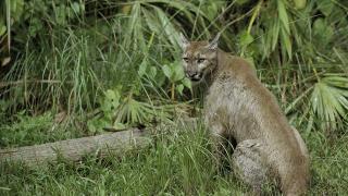 Florida-Panther-generic.png